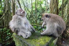 二只猴子在巴厘岛Ubud森林里 库存图片