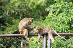 二只猴子采毛皮的和虱子 免版税库存图片