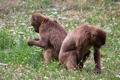 二只猴子 免版税库存照片