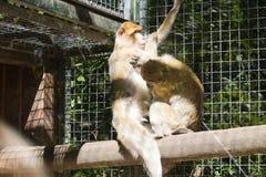 二只猴子 库存照片