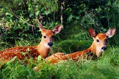 二只白尾鹿小鹿 库存照片