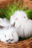 二只空白兔子在篮子 免版税库存照片