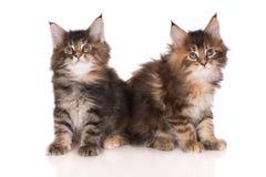 二只缅因浣熊小猫 免版税库存图片