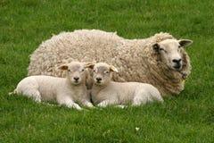 二只羊羔和母亲绵羊 库存图片