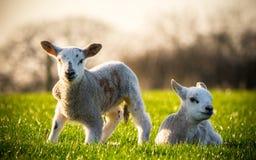 二只羊羔 免版税库存照片