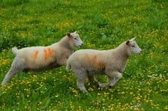 二只羊羔 图库摄影