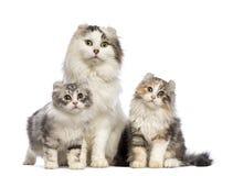 二只美国卷毛小猫, 3个月,坐与他们的妈咪 免版税库存图片