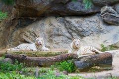 二只老虎 免版税库存照片