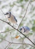 二只蓝鸟 库存照片