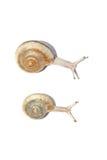 二只蜗牛 库存图片