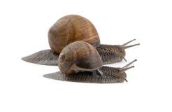 二只蜗牛 库存照片