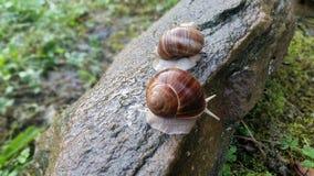 二只蜗牛 图库摄影