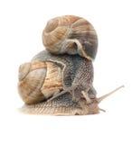 二只蜗牛 免版税库存照片