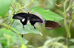 二只蝴蝶 免版税图库摄影