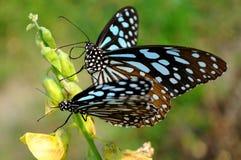 二只蝴蝶 免版税库存照片