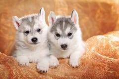 二只西伯利亚爱斯基摩人小狗 免版税库存照片