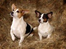 二只逗人喜爱的小狗 免版税库存图片