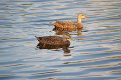 二只野鸭鸭子 免版税图库摄影