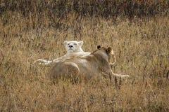 二只雌狮 免版税库存照片