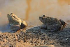 二只青蛙(Hoplobatrachus rugulosus) 库存图片