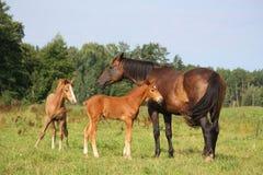 二只驹和他们的牧场地的母亲 图库摄影