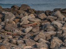 二只鬣鳞蜥 免版税库存照片