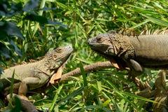 二只鬣鳞蜥 库存照片