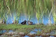 二只鸭子在湿软的沼泽地 免版税图库摄影