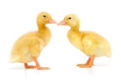二只鸭子 免版税库存照片