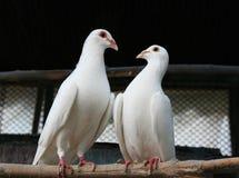 二只鸽子 库存图片