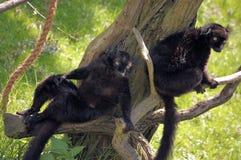 二只黑色狐猴 免版税图库摄影