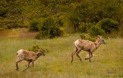跑在草甸的幼小大有角的绵羊 库存照片