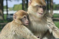 二只猴子使用 库存图片