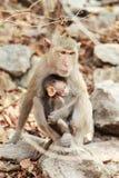 二只猴子坐石垂直 库存照片