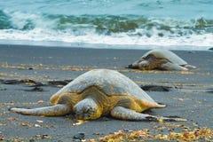 二只绿浪乌龟 库存照片