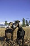 二只Nubian山羊。 免版税库存图片