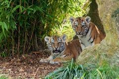 二可爱的阿穆尔河隐藏在风雨棚的虎犊 免版税库存照片