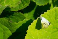 二在花的大空白蝴蝶 免版税库存照片