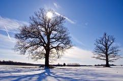 二在雪原的橡树在冬天 库存照片