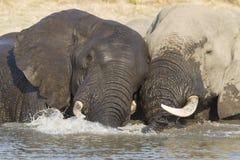 二头公牛非洲大象在水,南非中 库存图片