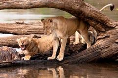 二头女性狮子提供河马胴体肉 免版税库存图片