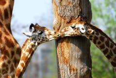 二头幼小长颈鹿 免版税库存图片