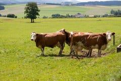 二头母牛 库存照片
