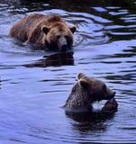 二头熊在水中 库存照片