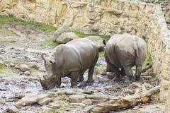 二头犀牛在动物园里 库存图片