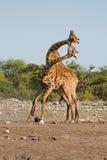 二头男性长颈鹿战斗 免版税图库摄影