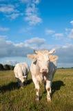 二头白肤金发的母牛在一个晴朗的草甸 免版税库存图片