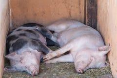 二头逗人喜爱猪休息 库存照片