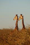 二头长颈鹿 库存图片