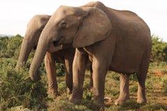 二头非洲大象母牛 免版税库存照片
